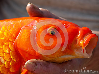 Koii fish