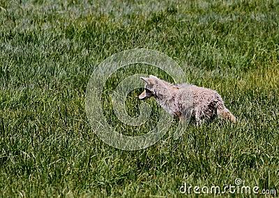 Kojote-anpirschendes Opfer