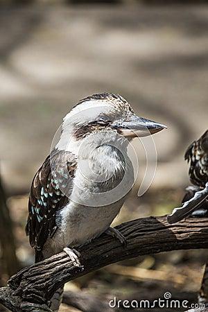 Kokkaburra bird