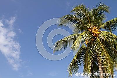 Kokosnüsse auf Palme