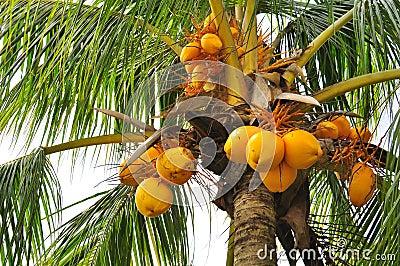 Kokosnoten bij een boom