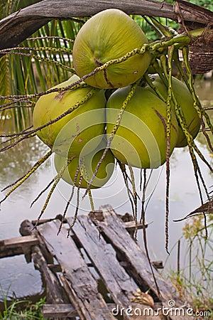 Kokosnoten op boom