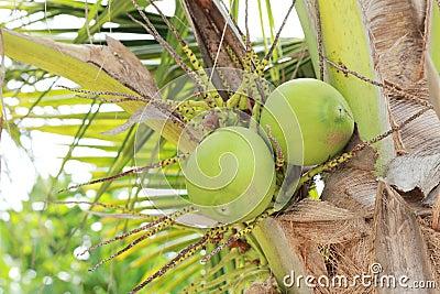 Kokosnoten op de boom