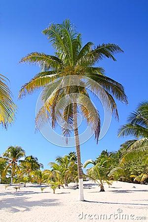Kokosnöten gömma i handflatan tropisk white för paradissandtrees