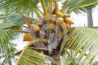 Kokosnötter i palmträd