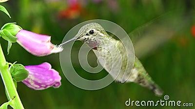 Kolibri och myra på två digitaliers lager videofilmer
