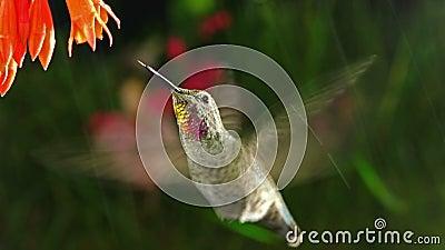 Kolibrin besöker corallefuchsian på regnig dag