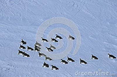 Koloni för hylla för Antarktis Weddell havsRiiser Larsen is av kejsarepingvinet