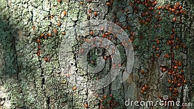 Kolonin för röda insekter i brandbukten på träbark i skog, flora och fauna, vilda djur stock video