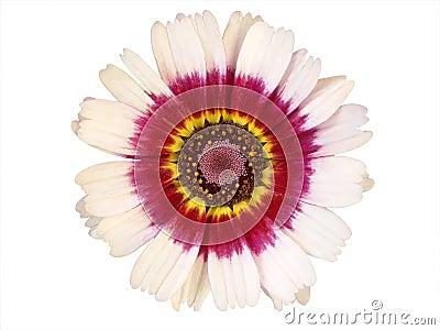 Kolorowa projektów elementów kwiat głowy