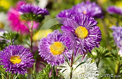 Kolorowi asterów kwiaty