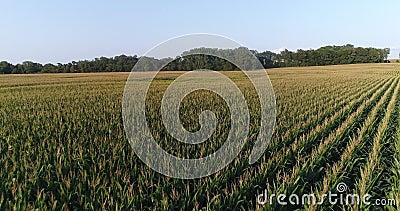 Komarnica Nad Kukurydzanym polem zbiory wideo