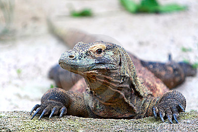 Komodo Dragon Royalty Free Stock Image - Image: 15171036