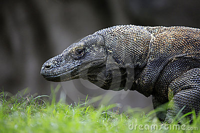 Komodo Dragon Royalty Free Stock Images - Image: 15953659