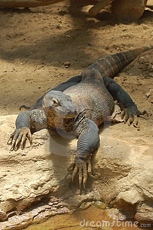 Free Komodo Dragon Stock Photos - 8211843