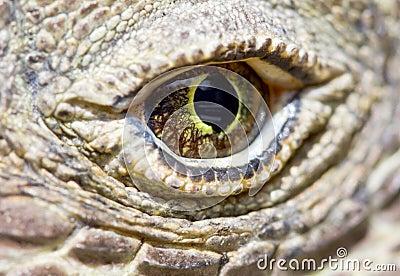 Komodo dragon eye