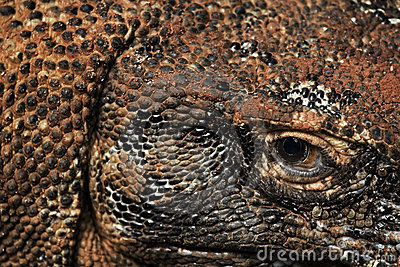 Komodo dragon eye and scales