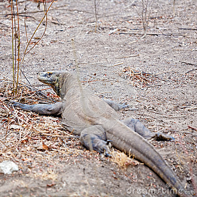 Komodo Dragon - Giant Lizard in Wild