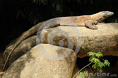 Komodo dragon in Singapore Zoo.