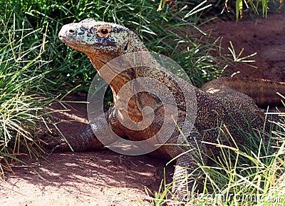 Komodo Dragon Standing