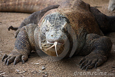 Komodo dragon in zoo