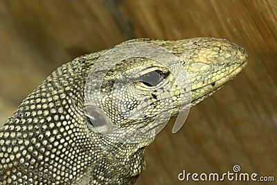 Komodo monitor lizard