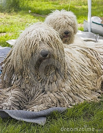 Free Komondor Royalty Free Stock Images - 732909