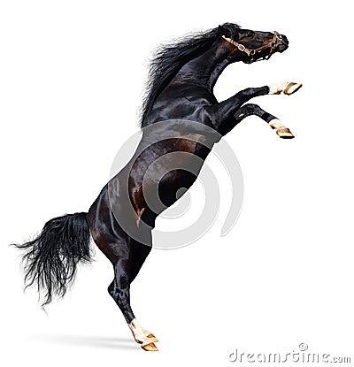 Konia arabskiej odizolowane białe z tyłu