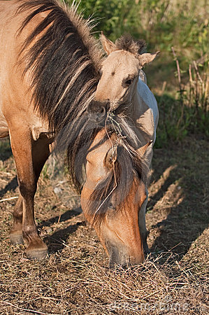 Konik foal and his mother