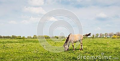 Konik horse throws his tail up