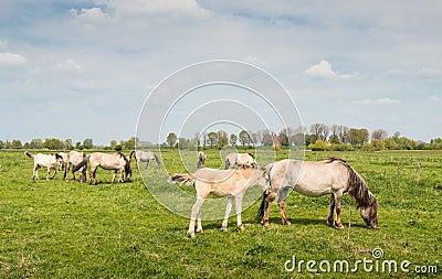 Konik horses grazing