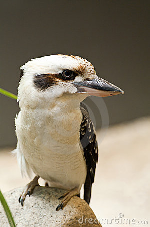 Free Kookaburra Royalty Free Stock Photography - 17006357