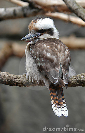 Free Kookaburra Stock Photos - 461053