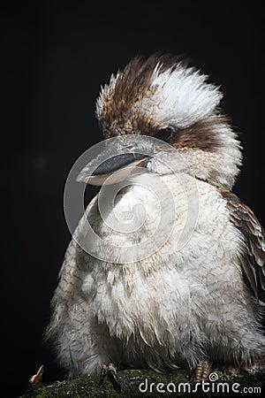 Free Kookaburra Stock Image - 6965041