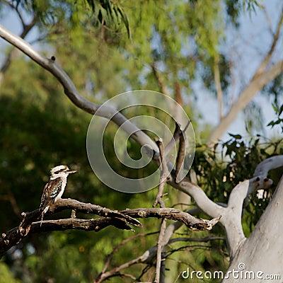Free Kookaburra, Australia Stock Photo - 15180700