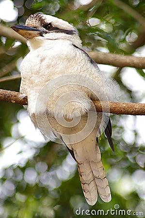 Kookaburra - below right