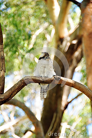 Free Kookaburra Bird In New South Wales Is A State Of Australia. Royalty Free Stock Photos - 50743098