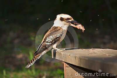 Kookaburra eating