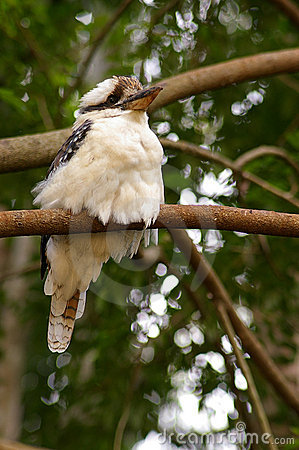 Kookaburra - under left