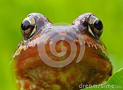 Kopf des Frosches