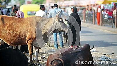 Kor som äter kull i gata lager videofilmer