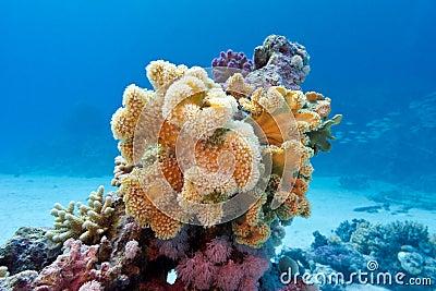 Korallenriff mit gelbem weichem korallenrotem sarcophyton an der Unterseite von tropischem Meer herein auf Hintergrund des blauen