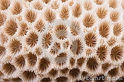Korallenrotes Makro