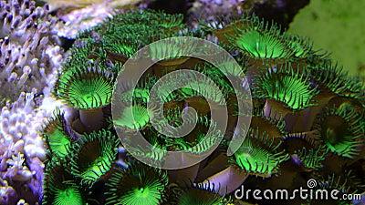 Koralowce przycisków Palyp zoa zdjęcie wideo