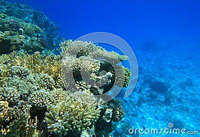 Koralowy czerwieni rafy morze