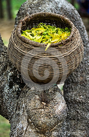 korb mit blumen ylang ylang flora madagaskar stockfoto bild 82217619. Black Bedroom Furniture Sets. Home Design Ideas