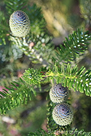 Korean fir cones