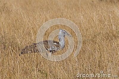 Kori鸨鸟Ardeotis kori