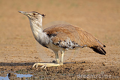 Kori bustard bird, Kalahari desert, South Africa
