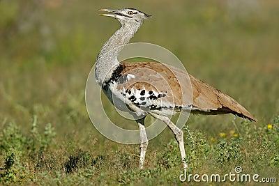 Kori bustard, Etosha National Park, Namibia